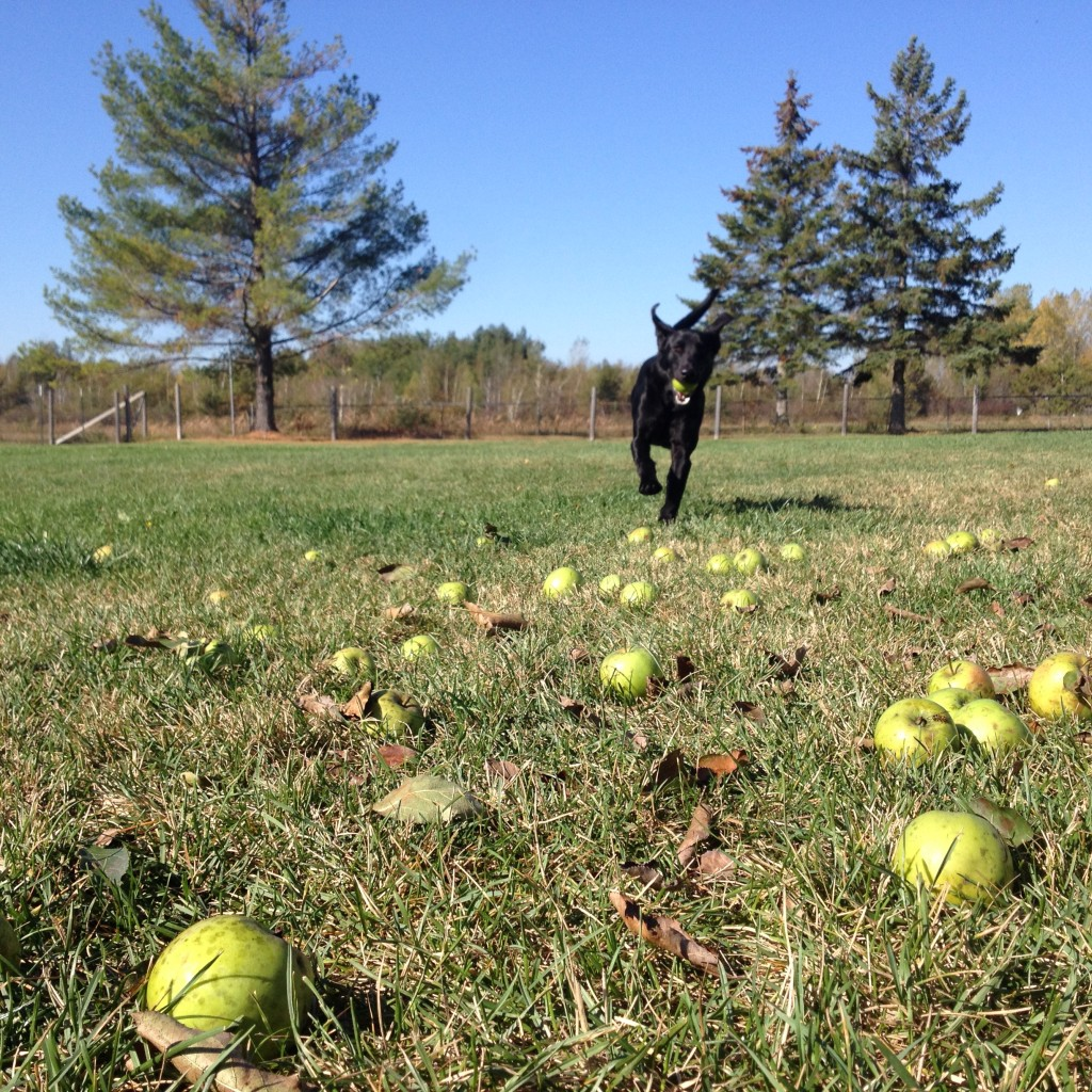 Kye Straka loves apples.  She also likes to play with her heathly treats.