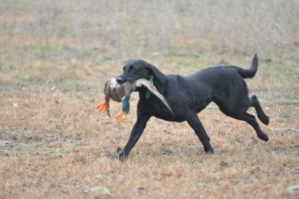 Jade Steelman returning from a marked retrieve with a LIVE Flyer!