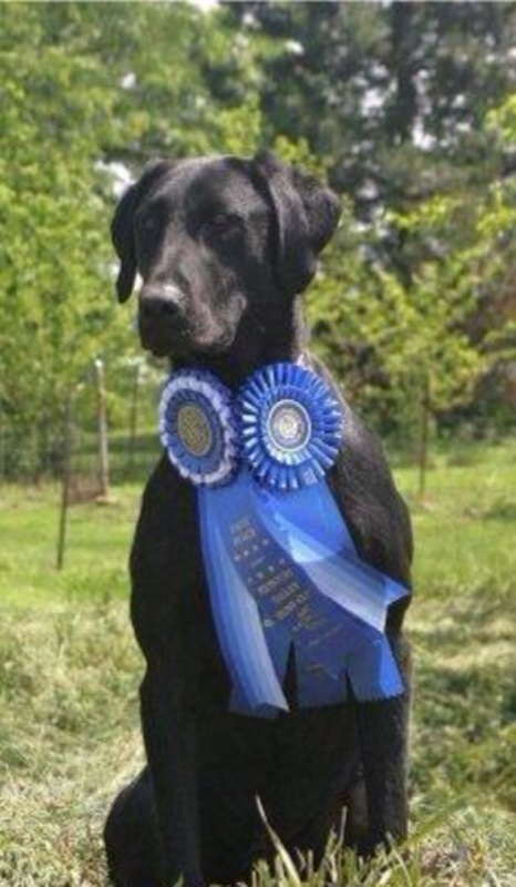 Jack Aul a large male Labrador Retriever displaying his WINNING ribbons.