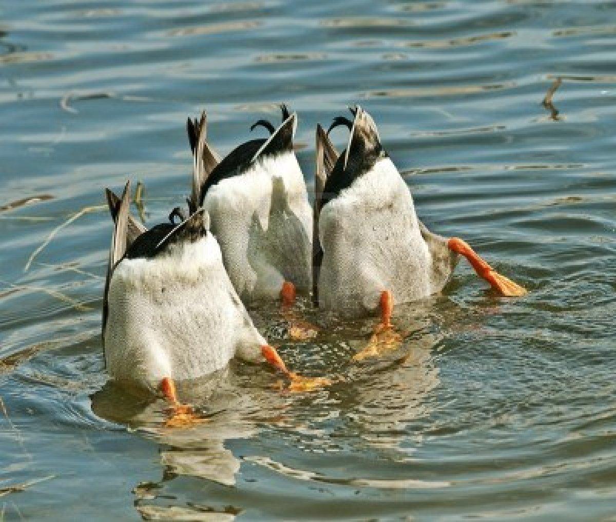 how to teach a dog to retrieve ducks